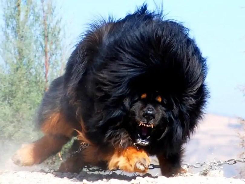 Tibetan Mastiff Dog Breed Angry
