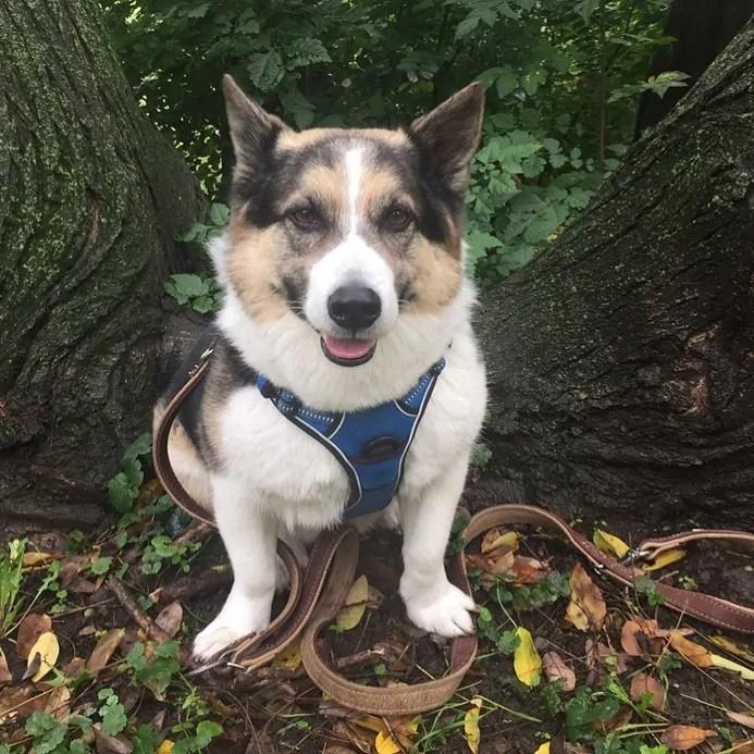Corgi Husky Mix Dog Breed Pictures, Characteristics, Facts