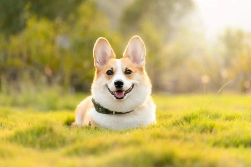 Dog Corgi Cute Animal