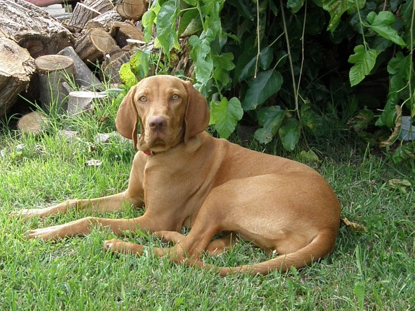 Hungarian-Vizsla Medium Sized Dogs