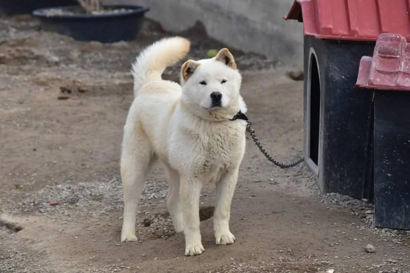 Korean dog breeds