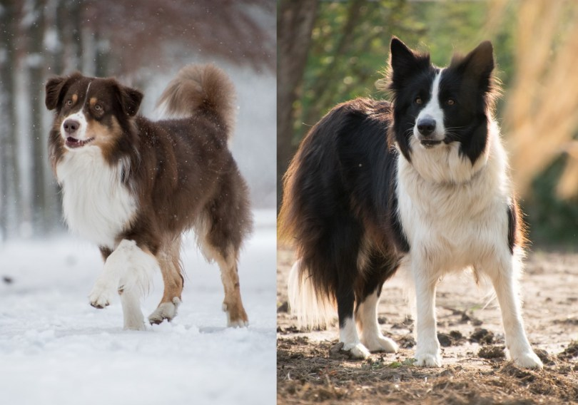 Australian Shepherds vs Border Collie Differences And Similarities