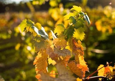 Rough and Ready vineyard colors in fall