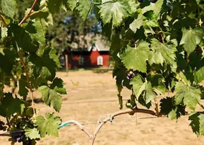 Ranch view through the grape vines at outdoor wedding venue, create your own stories at the Rough and Ready Vineyard