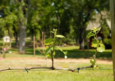 Grape vines budding in spring, seasons are always changing at Rough and Ready vineyards