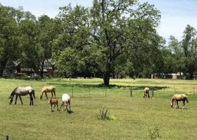 horses with Ranch house in background