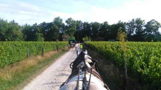 vigne, attelage, calèche, chevaux
