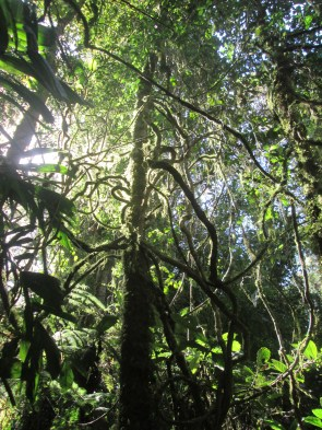 Cool trees and vines in the rainforest in Border Ranges NP