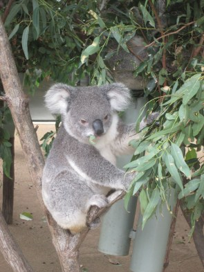 Koalas hanging out, eating Eucalyptus