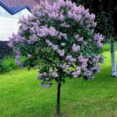 Lovely flowering tree ideas for your home yard 24