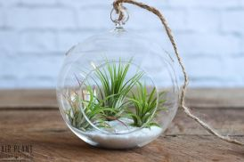Popular air plant display ideas for home 08