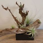 Popular air plant display ideas for home 27