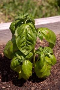 Herbs | A Round Rock Garden