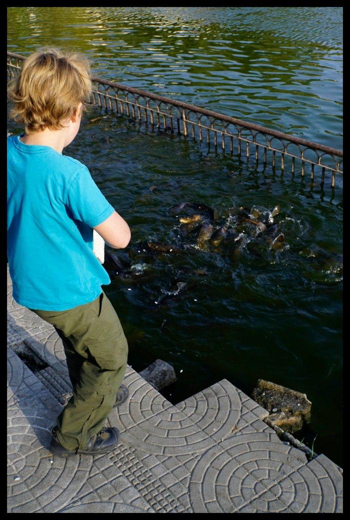 Feeding lots of holy fish!