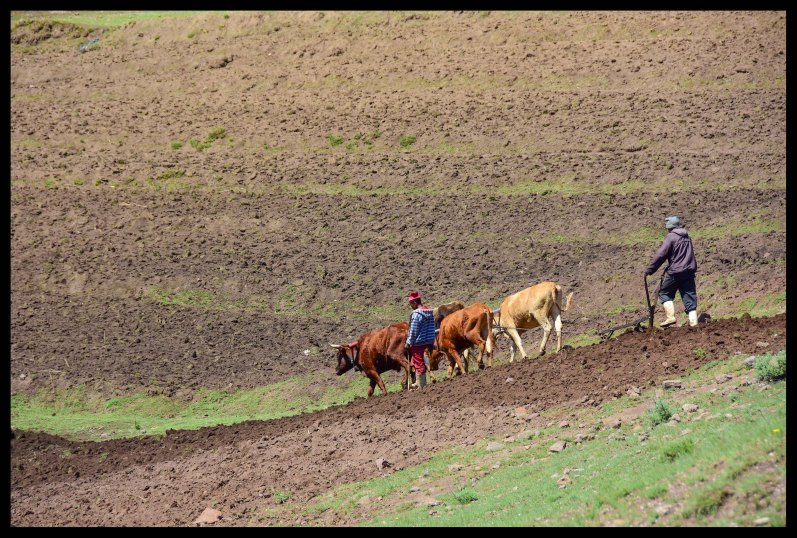 Ploughing the field. Most people can't afford cows for ploughing so this man is hired to do the work.