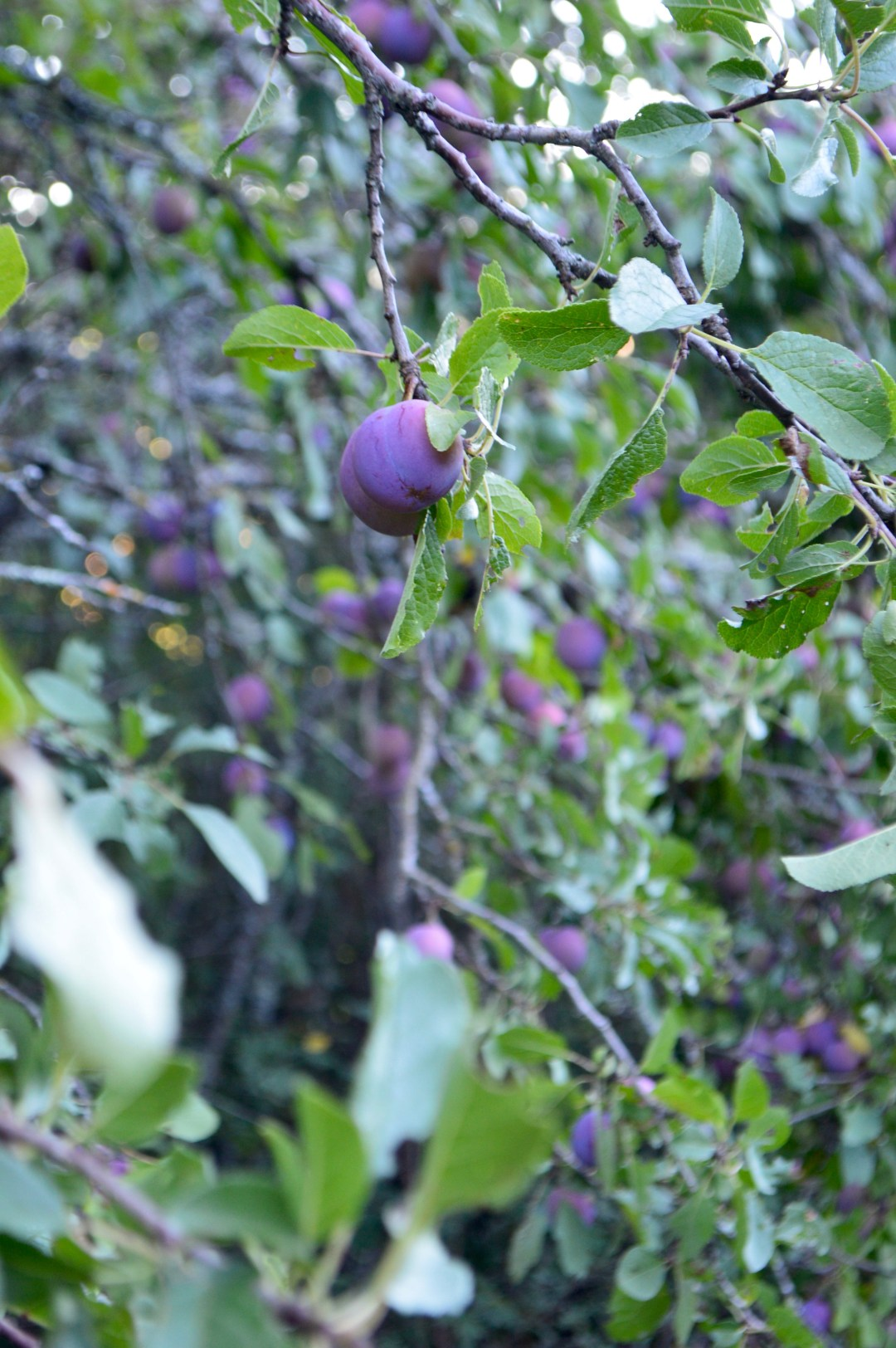 Arbre Prune Plum Tree Aveyron France