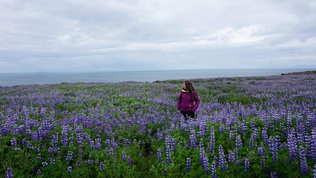 Iceland Road Trip Round Trip Travel Flower Field