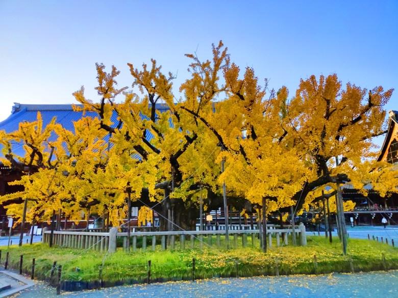 賞銀杏 | 西本願寺 | 銀杏名所 | 京都 | 日本 | 2019 | 巡日旅行攝