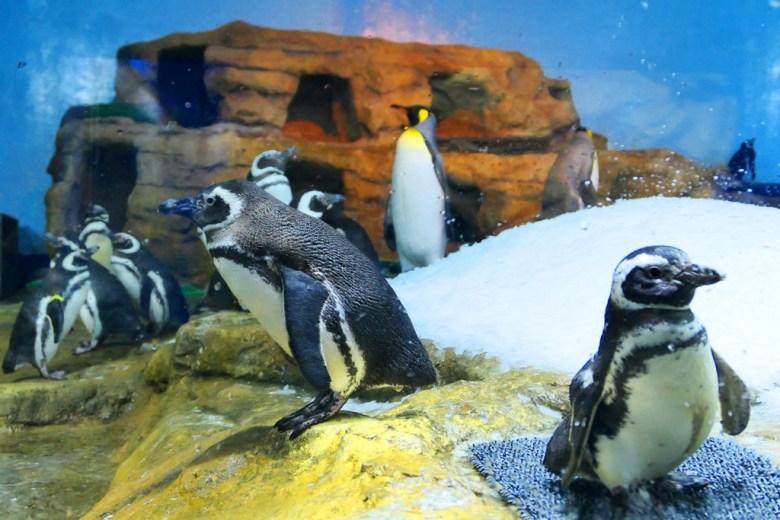 國王企鵝 | Aptenodytes patagonicus| Xpark | Zone 9 | Taiwan | RoundtripJp