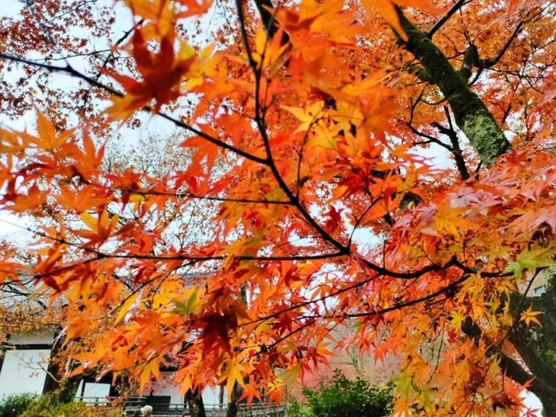 楓葉 | てんりゅうじ | 天龍寺 | 京都 | 近畿(關西) | 日本 | 巡日旅行攝