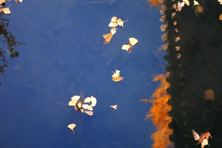 銀杏 | ひがしほんがんじ | 東本願寺 | 京都 | 近畿(關西) | 日本 | 巡日旅行攝
