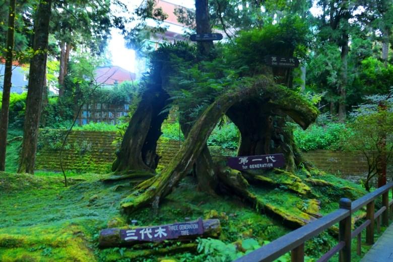 三代木 | Three Generation Tree | 侘寂之美 | わびさび | 阿里山 | 嘉義 | 臺灣 | 巡日旅行攝