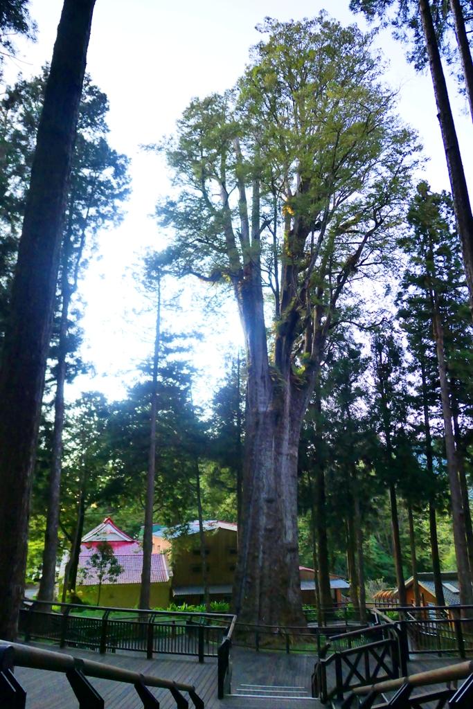 阿里山奇景 | 香林神木 | 紅檜 | Mt.ali | Alishan | RoundtripJp