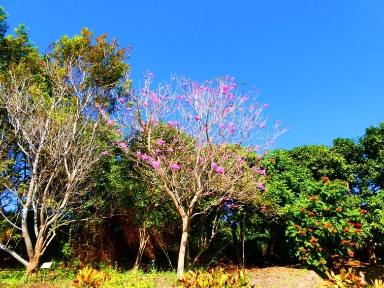 洋紅風鈴木 | Tabebuia rosea | 大內國小校內神社遺跡 | 大內區 | 台南 | 臺灣 | Taiwan | RoundtripJp