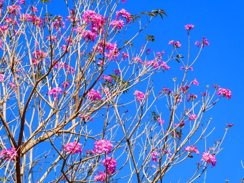 藍天紅花 | 洋紅風鈴木 | Tabebuia rosea | 大內國小校內神社遺跡 | 大內區 | 台南 | 臺灣 | Taiwan | 巡日旅行攝