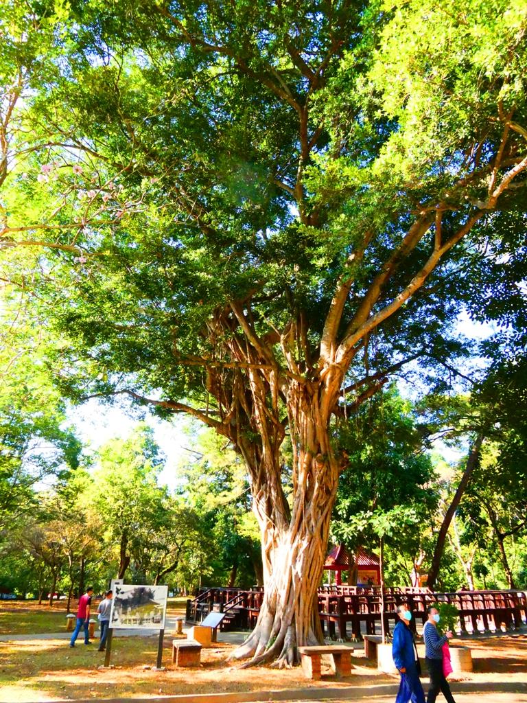 巨樹參天   射日塔前   第一代嘉義神社遺跡旁   嘉義公園   嘉義   臺灣   RoundtripJp