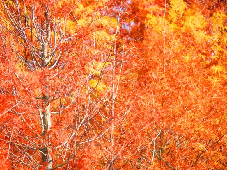 綺麗艷紅 | 落羽松 | 落羽杉 | ラクウショウ | Taxodium distichum | 泰安 | 苗栗 | RoundtripJp