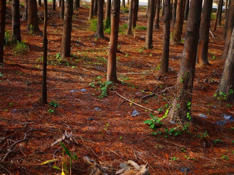 紅葉地毯 | 落羽松之森 | 萬紅一抹綠 | 大自然 | 大肚落羽松秘境 | 大肚 | 臺中 | RoundtripJp