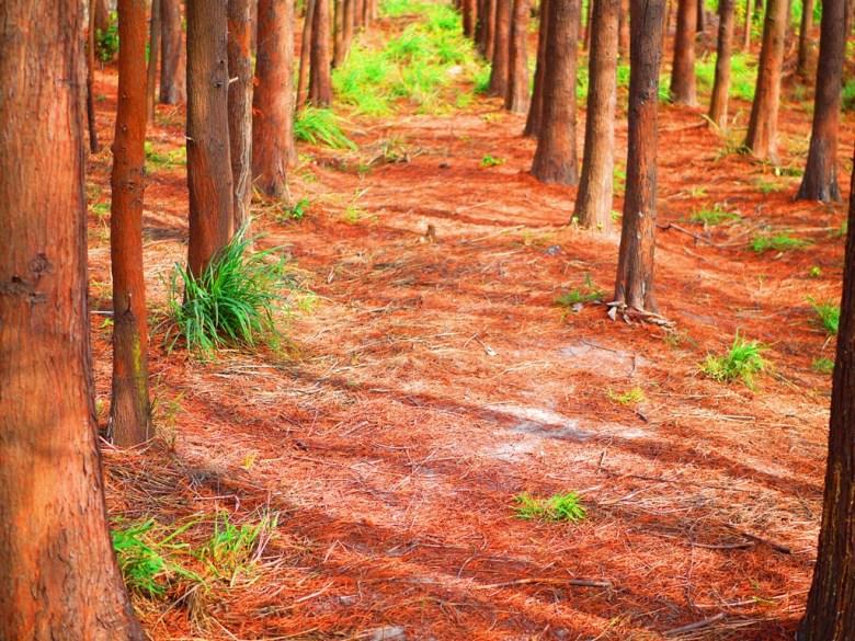 落羽松大道 | 紅葉地毯 | Dadu Taxodium distichum | Dadu | Taichung | Wafu Taiwan | 巡日旅行攝