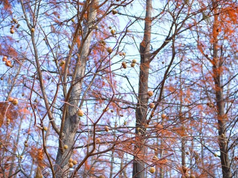 落羽松與青空 | 落羽杉 | ラクウショウ | だいと | たいちゅう | RoundtripJp