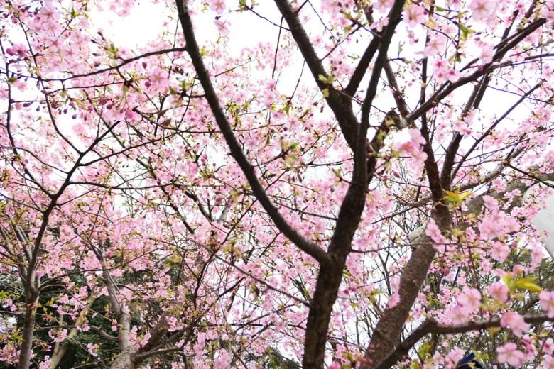 多彩日本 | 上野花園神社櫻花 | 櫻花之國 | 花咲之國 | 日本的別稱 | 巡日旅行攝