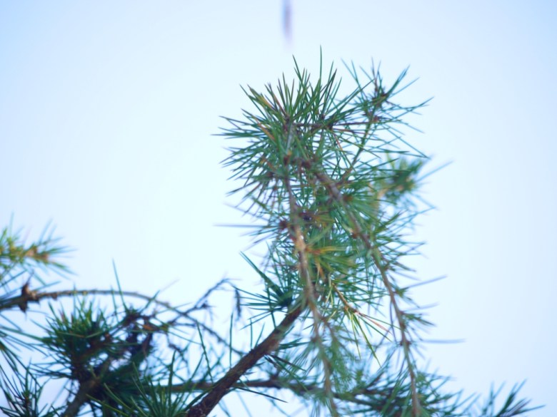 松樹 | 青空綠葉 | 清新空氣 | Guoxing | Nantou | Wafu Taiwan | RoundtripJp
