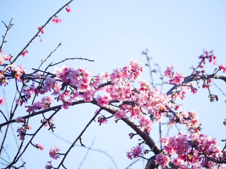 河津櫻 | 浪漫的顏色 | 日本味 | 九份二山七號觀景台第二賞梅區 | 國姓 | 南投 | 和風巡禮 | 巡日旅行攝