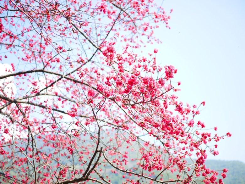 青空與山櫻 | 第二停車場前方 | Basianshan National Forest Recreation Area | Heping | Taichung | Wafu Taiwan | 巡日旅行攝
