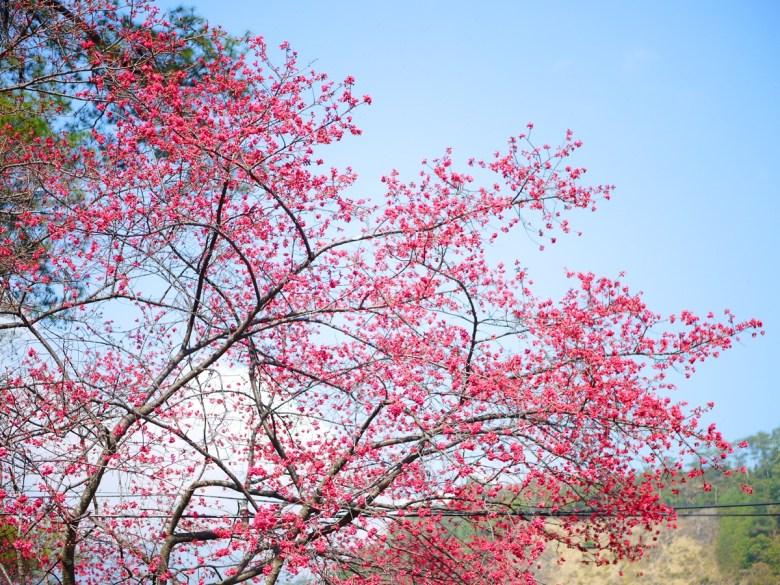 滿開的山櫻花 | 第二停車場前方 | 八仙山國家森林遊樂區 | はっせんざん | ホーピン | 和風巡禮 | RoundtripJp