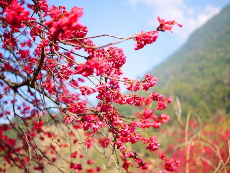 青山與山櫻 | 艷麗的紅 | 最先感受來自春天的氣息 | 八仙山國家森林遊樂區 | Basianshan National Forest Recreation Area | 巡日旅行攝