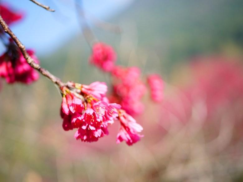 猶如吊鐘的迷人山櫻花 | 緋寒櫻 | はっせんざん | ホーピン | Heping | Taichung | RoundtripJp