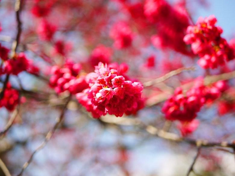 山櫻花 | 緋寒櫻 | 緋櫻 | Cerasus campanulata | Basianshan National Forest Recreation Area | 巡日旅行攝