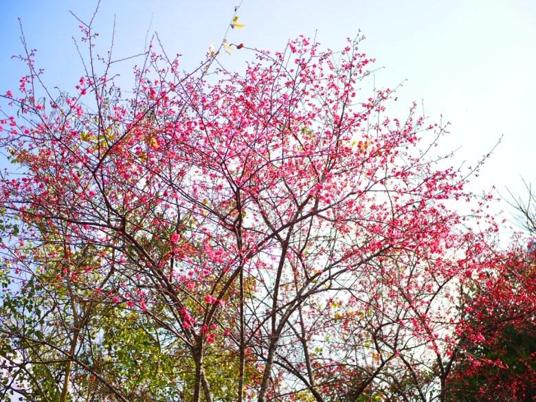 山櫻花 | 緋寒櫻 | 八仙山國家森林遊樂區 | Basianshan National Forest Recreation Area | 巡日旅行攝