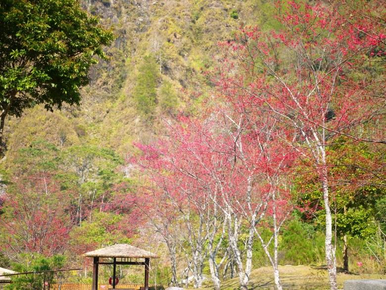 緋寒櫻並木 | 山櫻花並木 | 綠色的大自然 | 山中清新的空氣 | 八仙山國家森林遊樂區 | 巡日旅行攝