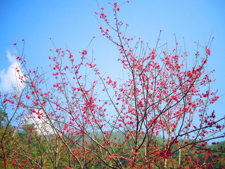 藍色天空 | 艷紅山櫻 | 翠綠高山 | 八仙山國家森林遊樂區 | 和平 | 台中 | RoundtripJp