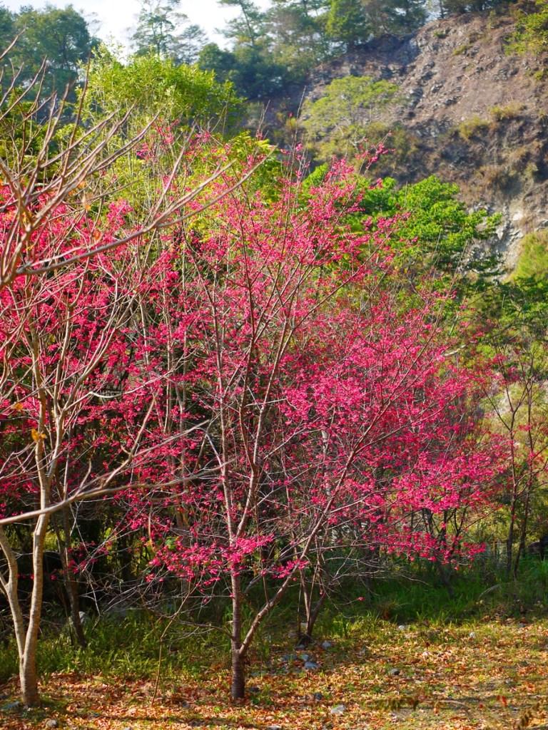 緋寒櫻並木 | 山櫻花並木 | 春天的氣息 | 春暖花開 | Basianshan National Forest Recreation Area | Heping | Taichung | RoundtripJp