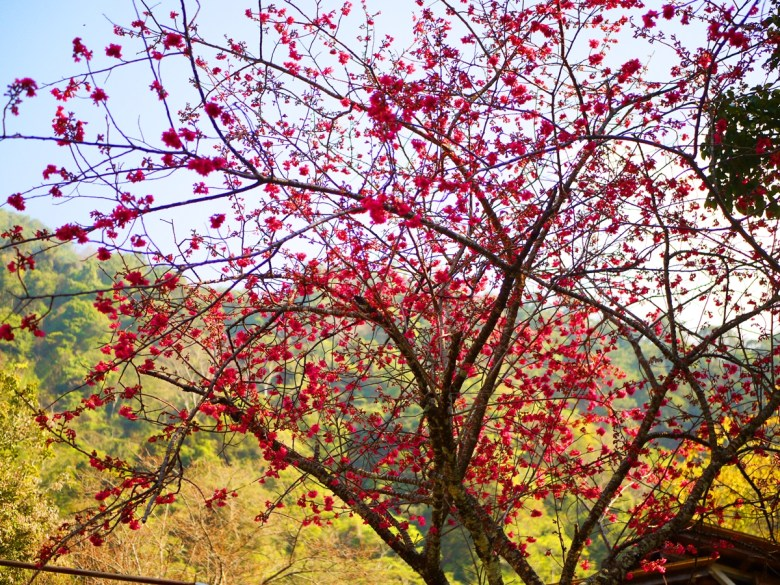 滿開的山櫻花 | 滿開的緋寒櫻 | 森呼吸 | Basianshan National Forest Recreation Area | Heping | Taichung | RoundtripJp