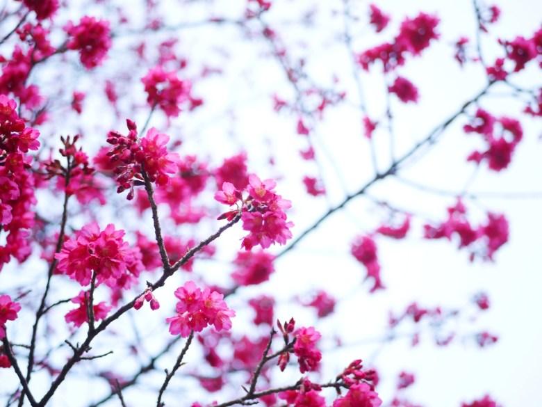 紅潤的緋寒櫻 | 最先感受春天的氣息 | Basianshan National Forest Recreation Area | Heping | Taichung | RoundtripJp