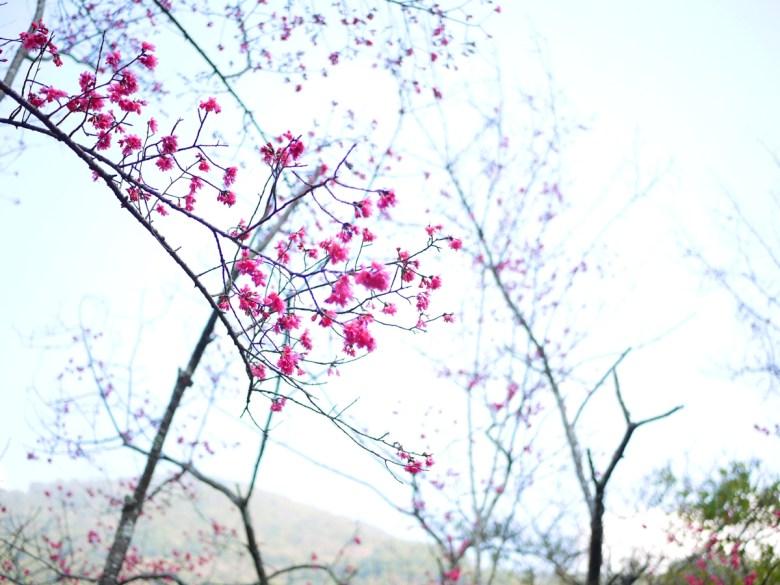 春暖花開 | 緋寒櫻 | 山櫻花 | 八仙山國家森林遊樂區 | Basianshan National Forest Recreation Area | 巡日旅行攝