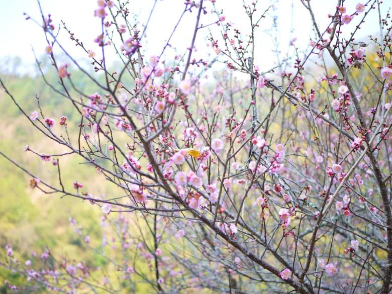 粉嫩的櫻花 | 夢幻的少女系顏色 | Basianshan National Forest Recreation Area | Heping | Taichung | RoundtripJp